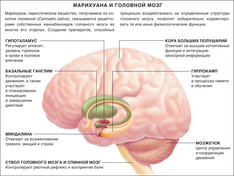части мозга где активно действует гашиш